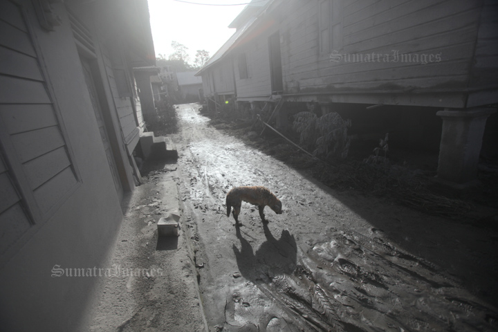 dog sinabung affected#1