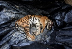 Sumatran Tiger Is Killed After Enter A Village